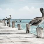 pelican-336583_1920
